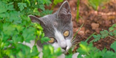 ¿Los gatos pueden comer perejil o es tóxico?