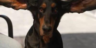 """""""Patrz na te uszy!"""" Pies zdobywcą rekordu Guinnessa"""