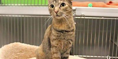 Wegen ihrer Ohren: Niemand will Katze Honey adoptieren