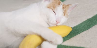 ¿Mi gato puede comer plátano?