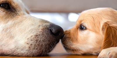 psi węch