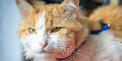Quali sono i rimedi naturali contro l'ascesso nel gatto?