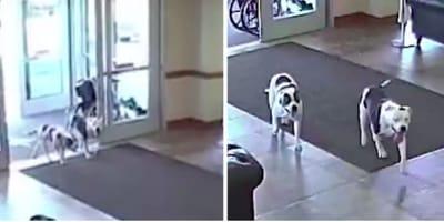 Dwa pitbulle wchodzą do szpitala. W to, co się dzieje później, nikt by nie uwierzył
