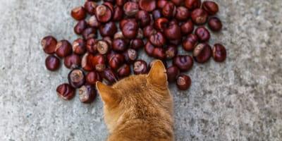 ¿Los gatos pueden comer castañas?