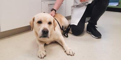 Labrador Moos held van Gelderland na redden leven puppy in nood