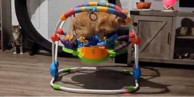 Il gatto e il girello del bebè: tutti incuriositi da quello che fa (Video)