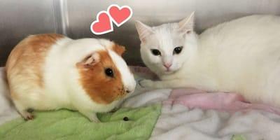 Gato se enamora de una cobaya en un refugio: los voluntarios emocionados con su historia de amor