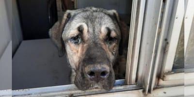 9 honden in beslag genomen in Dronten: ze leefde in dikke laag ontlasting