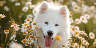 ¿Cuánto cuesta un perro samoyedo en Chile?