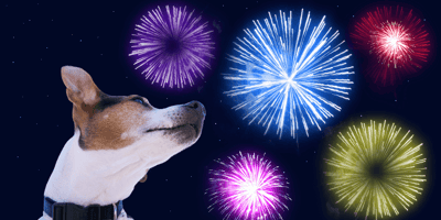 jack russell looking at fireworks