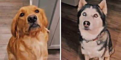 Wunder der Natur: Goldie und Husky zeugen einmaliges Hundebaby