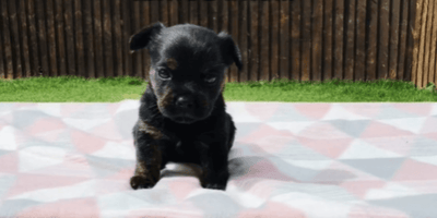 Owner buys 'purebred French Bulldog': Soon realises it's a very different breed