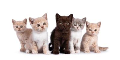 Imię dla kota brytyjskiego – ponad 100 propozycji!