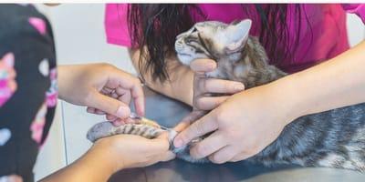 Llega con su gato enfermo al veterinario: el doctor entra en pánico al ver el chip