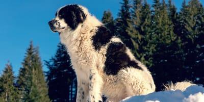 Las 4 razas de perros rumanos más raras y únicas