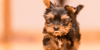 Woman buys Yorkshire puppy : Weeks later, she realises she's made a huge mistake