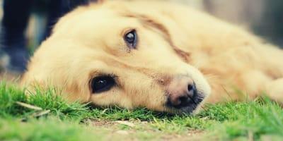 Chemioterapia nel cane: info, costi ed effetti collaterali