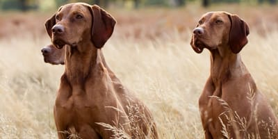 Cosa sapere sull'alimentazione per cani da caccia?