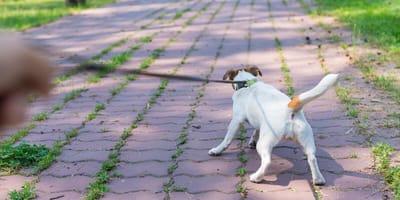 Dognappers slaan toe in Boxmeer, ook incidenten in Cuijk en Sint Anthonis