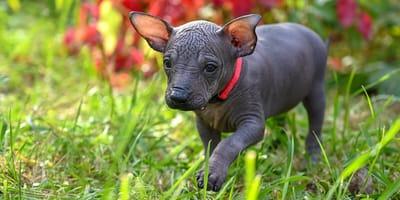 Mexikanische Hunde: 3 außergewöhnliche Rassen