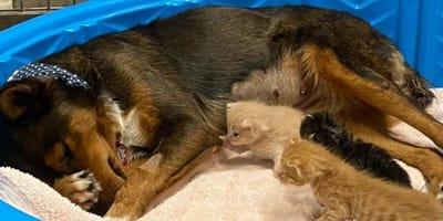 Pastor alemán pierde a sus bebés: cuando los gatitos se acercan a ella, decenas de personas se ponen a llorar