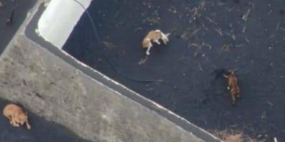 Un soccorso unico quello dei cani intrappolati a La Palma tra la lava