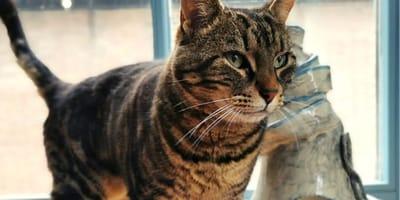 Cyperse kat: alles over de beroemde 'Tabby'