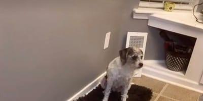 Przestraszona opiekunka szuka psa po całym domu. Kiedy odkrywa prawdę, pęka ze śmiechu (wideo)