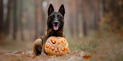 ¿Los perros pueden comer calabaza o les causa la muerte?