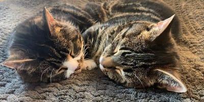 Para przygarnia dwa kocięta z karłowatością: nie podejrzewają tego, co się wydarzy