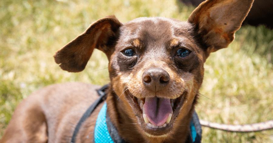 Blije hond houdt oor omhoog