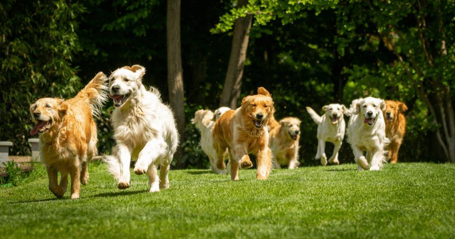Honden rennen over veld